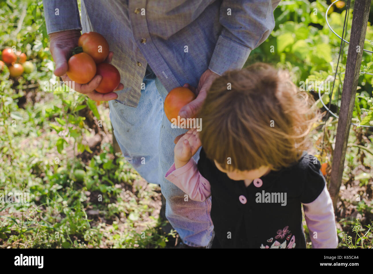 A child and man gather tomatoes from a garden outside. - Stock Image