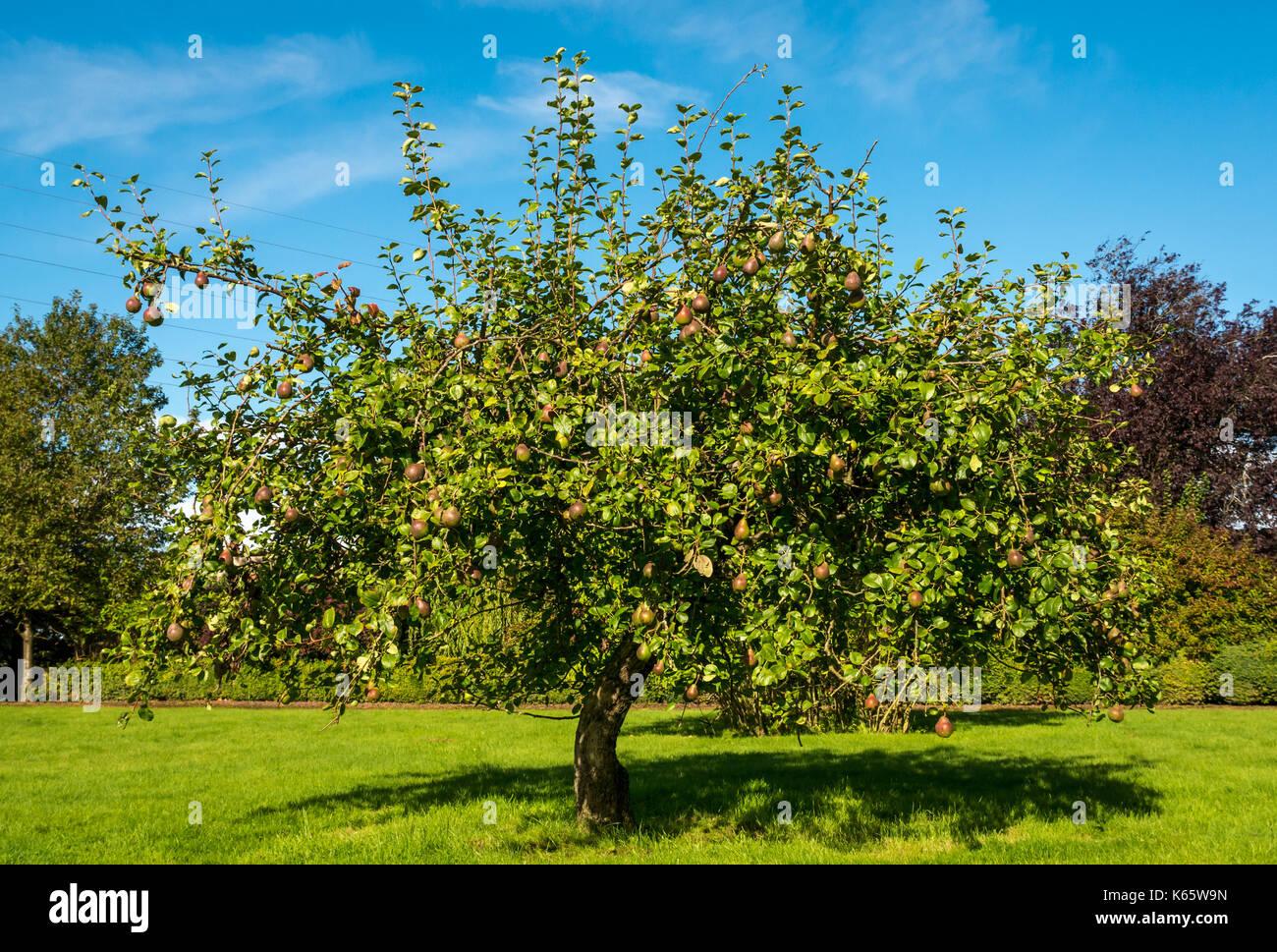 seckel-pear-tree-in-garden-lawn-on-sunny