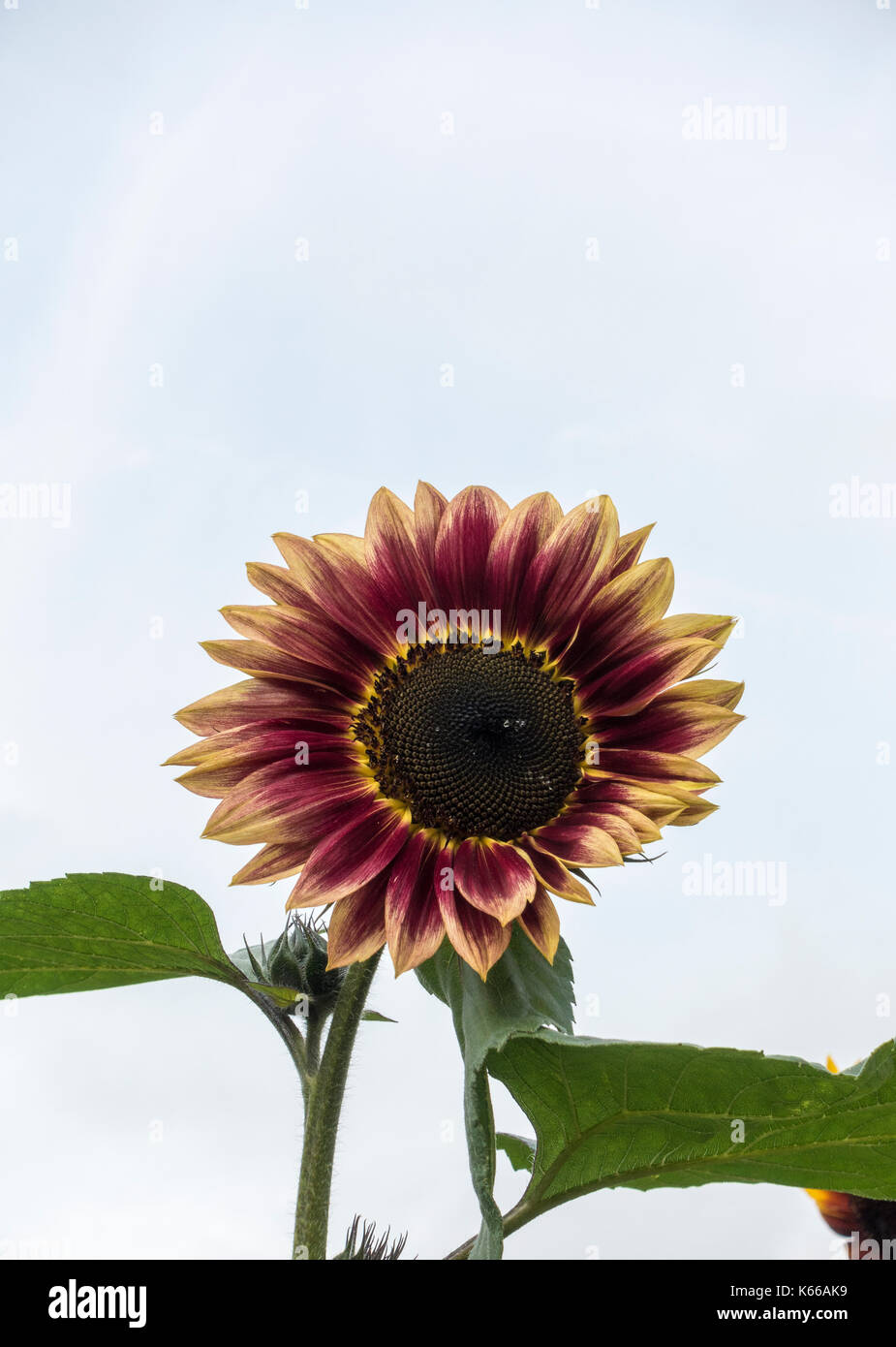 sunflower-shock-o-lat-K66AK9.jpg