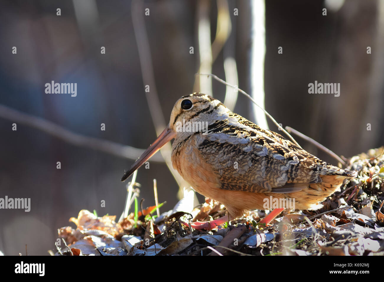 American woodcock (Scolopax minor) standing on the forest floor in the Adirondack Mountains in Upstate New York, Stock Photo
