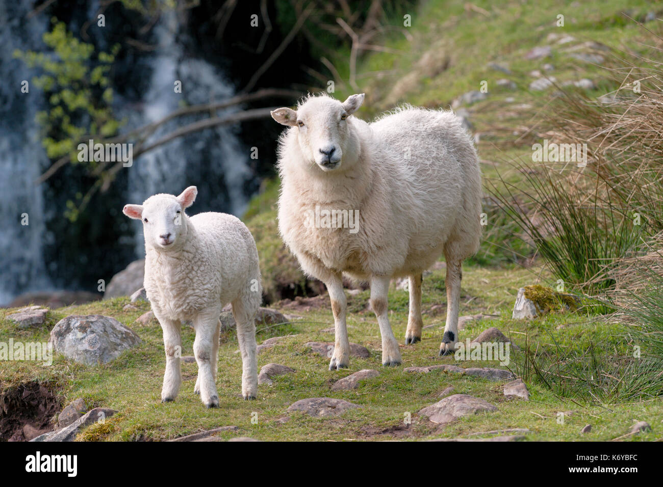 two-mountain-sheep-an-ewe-and-a-lamb-sta