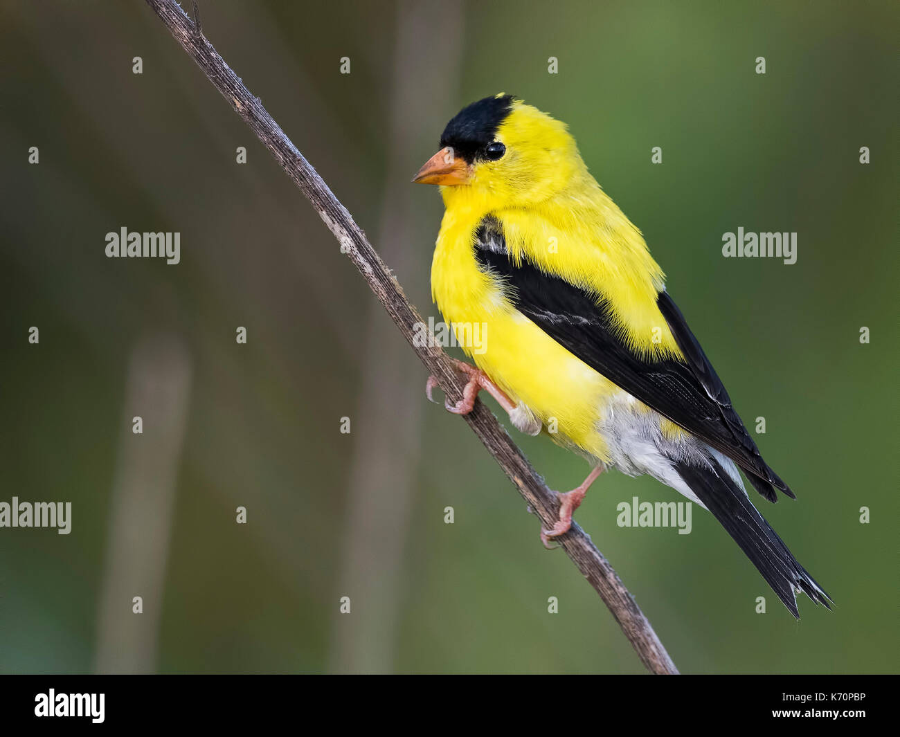 Male American Goldfinch - Stock Image