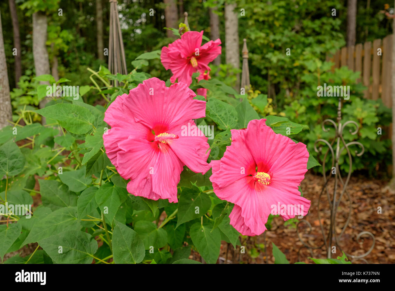 Giant pink hibiscus plant, flowering and growing in an Alabama garden, United States. Stock Photo