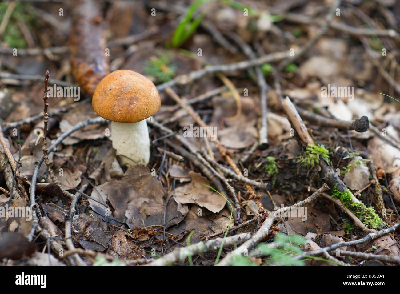 Mushroom in Swedish forest. - Stock Image