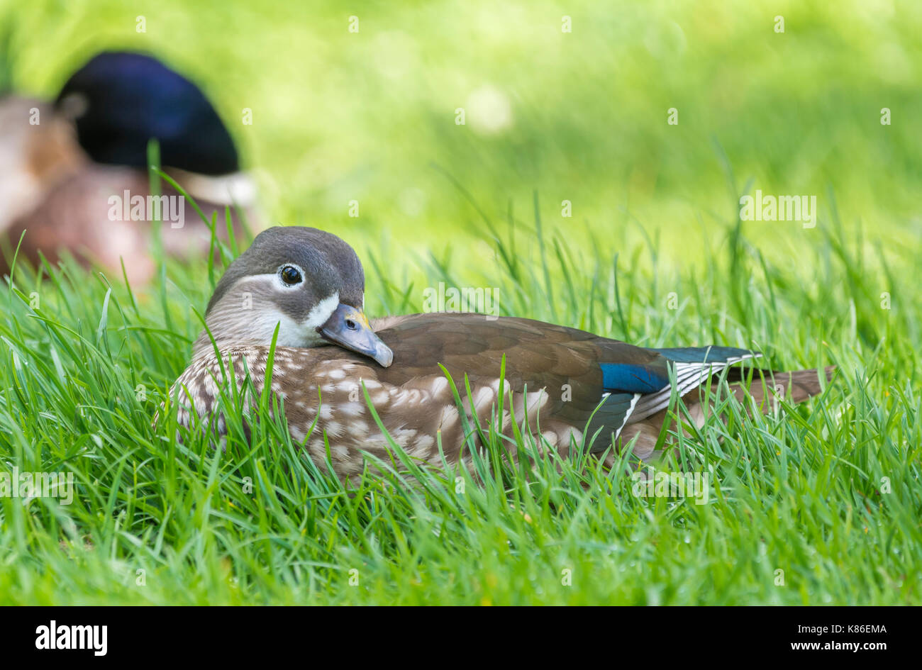 Aix galericulata hen (female Mandarin Duck) laying on grass in early Summer in West Sussex, England, UK. - Stock Image