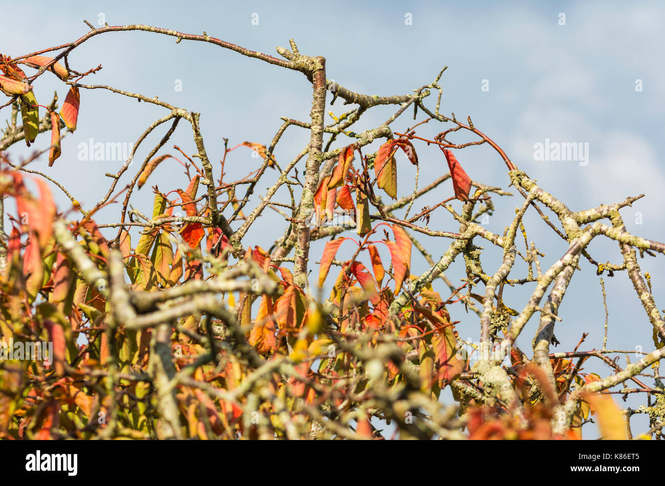 Colourful leaves on a tree as leaves start to die at the start of Autumn, against grey sky in the UK. - Stock Image