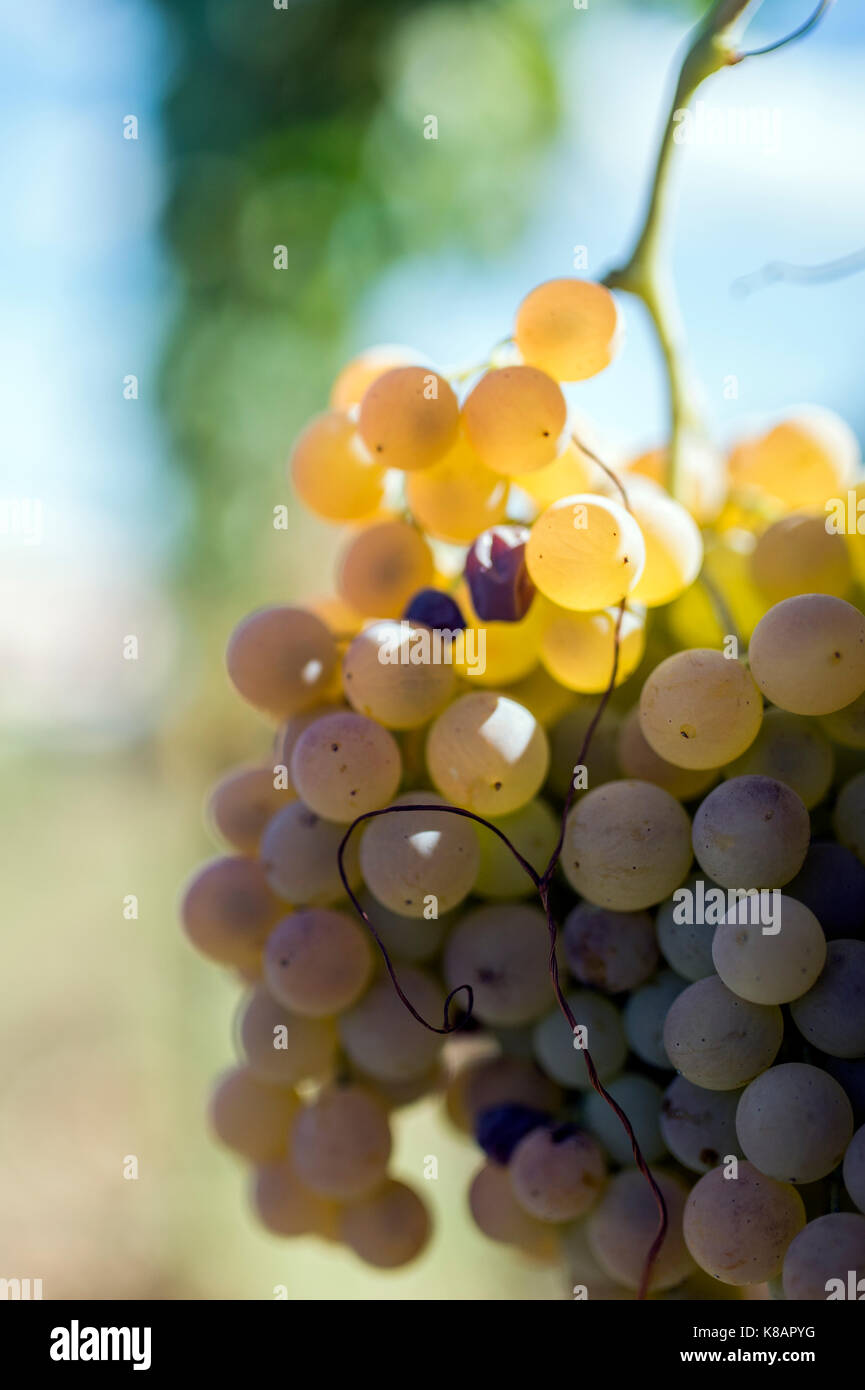 Grapes in a vineyard (selective focus) - Stock Image