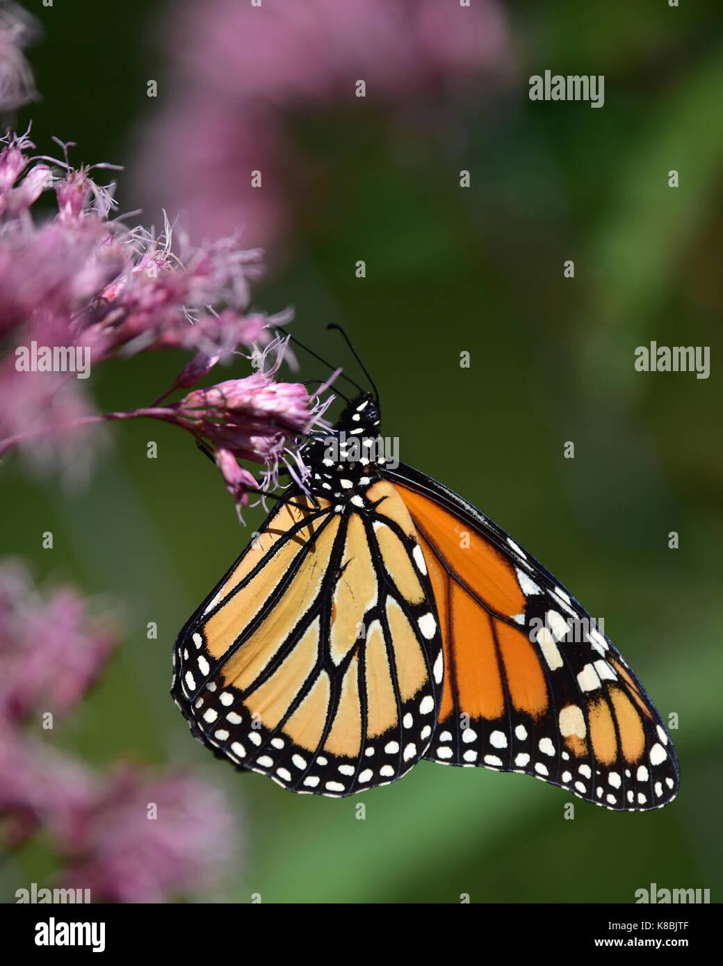 monarch-butterfly-danaus-plexippus-feeding-on-joe-pye-flowers-in-the-K8BJTF.jpg