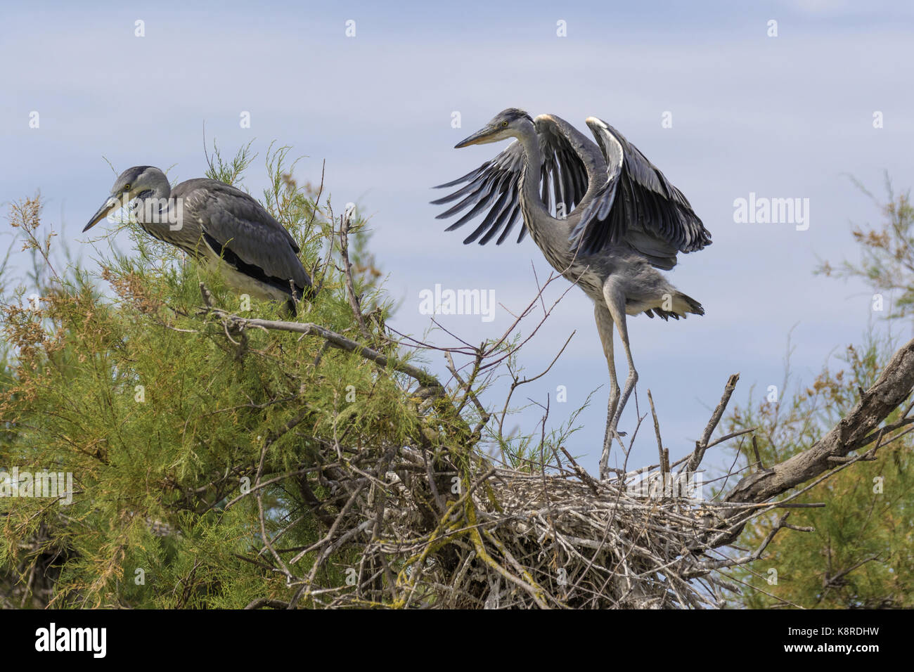 Grey heron (Ardea cinerea), two young at the nest learning to fly, Camargue, Bouches-du-Rh'ne, Provence, France, - Stock Image