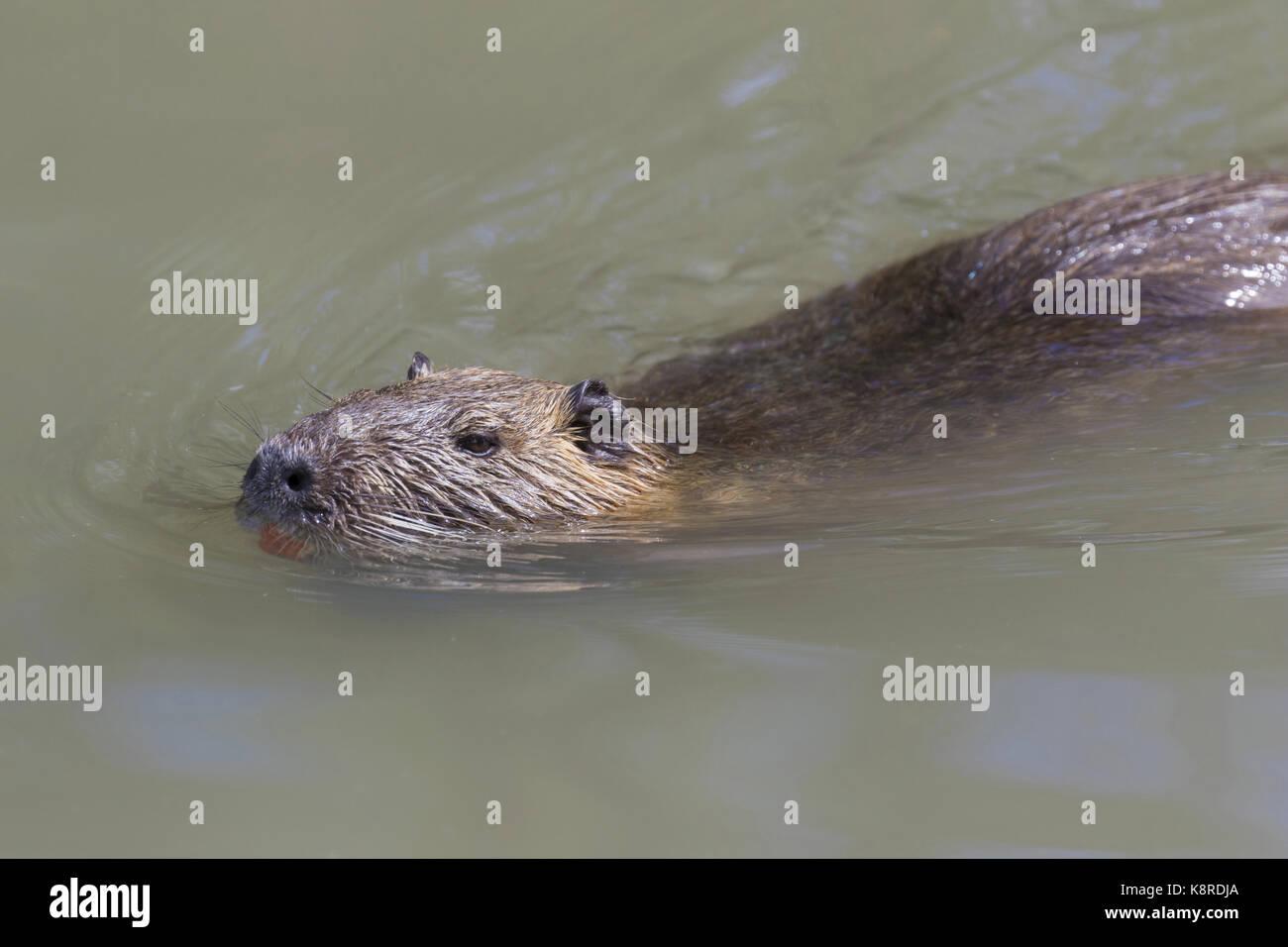 Coypu (Myocastor coypus) swimming in water, Camargue, Bouches-du-Rh'ne, Provence, France, June - Stock Image