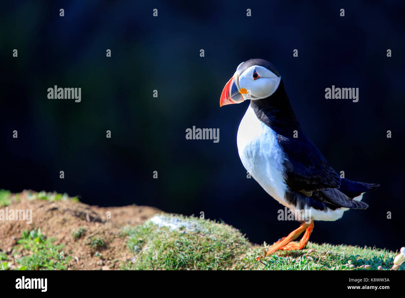 a-single-adult-atlantic-puffin-fratercul