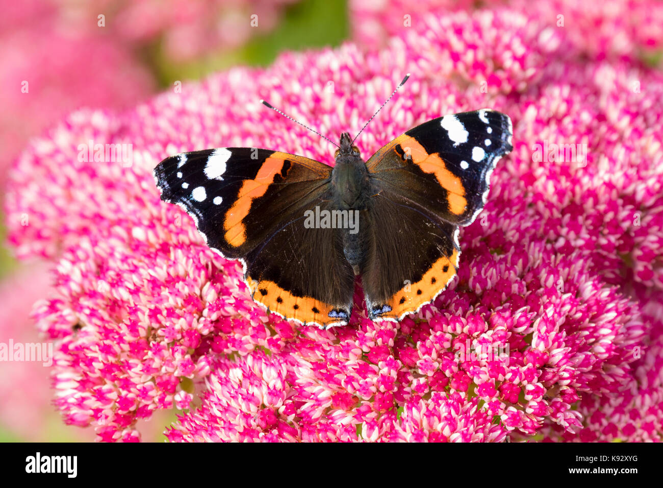 Adult Red admiral butterfly, Vanessa atalanta, feeding on the September flowers of Sedum spectabile Stock Photo