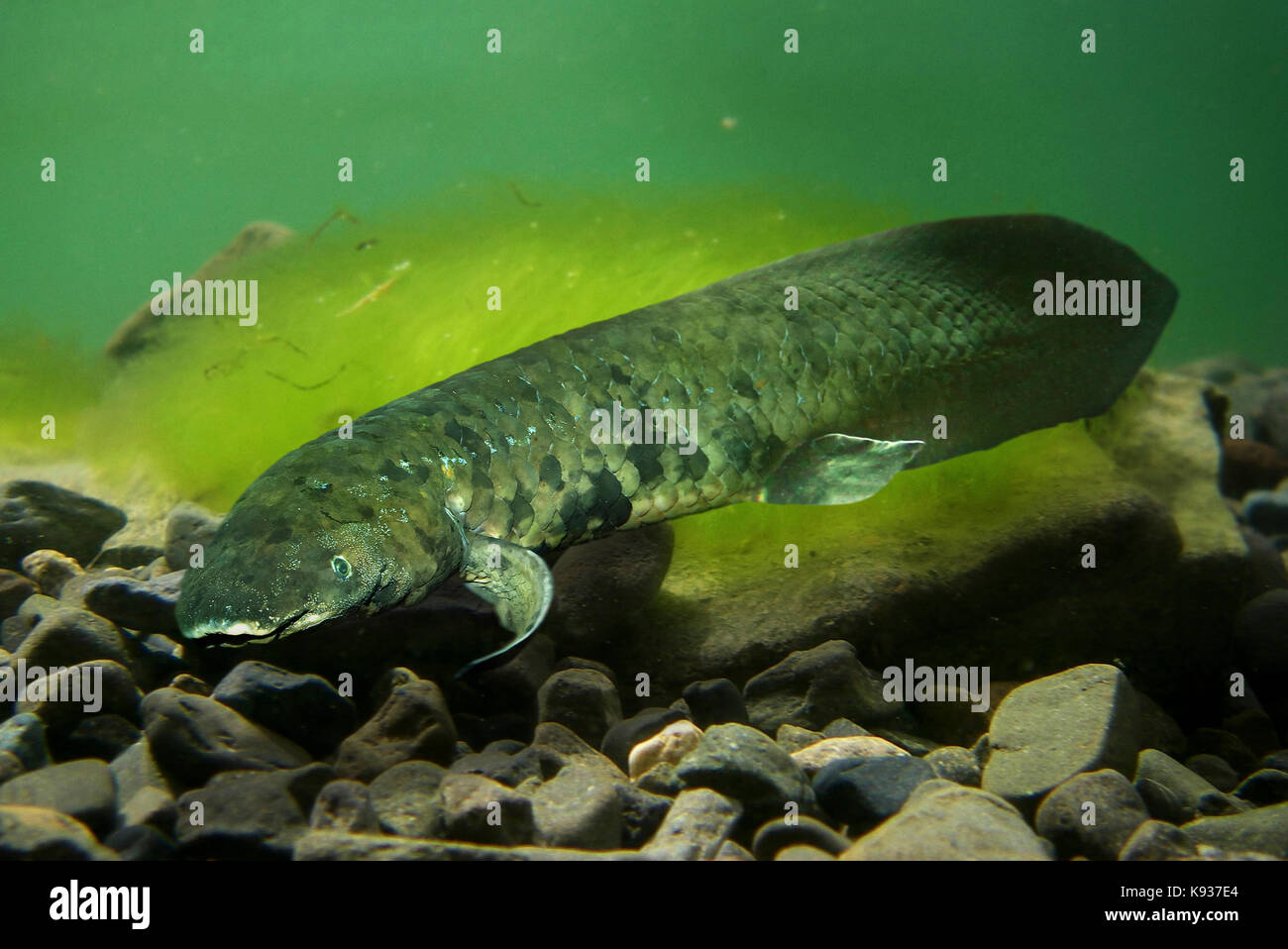 Australian lungfish, Neoceratodus forsteri. It is one of six representatives of the ancient air-breathing Dipnoi Stock Photo
