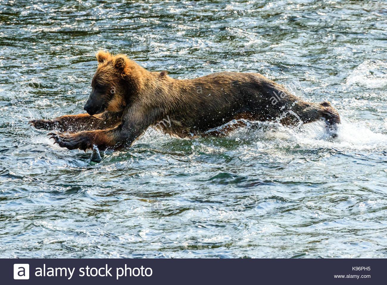 Yearling brown bear, Ursus arctos, fishing for salmon below Brooks Falls. - Stock Image