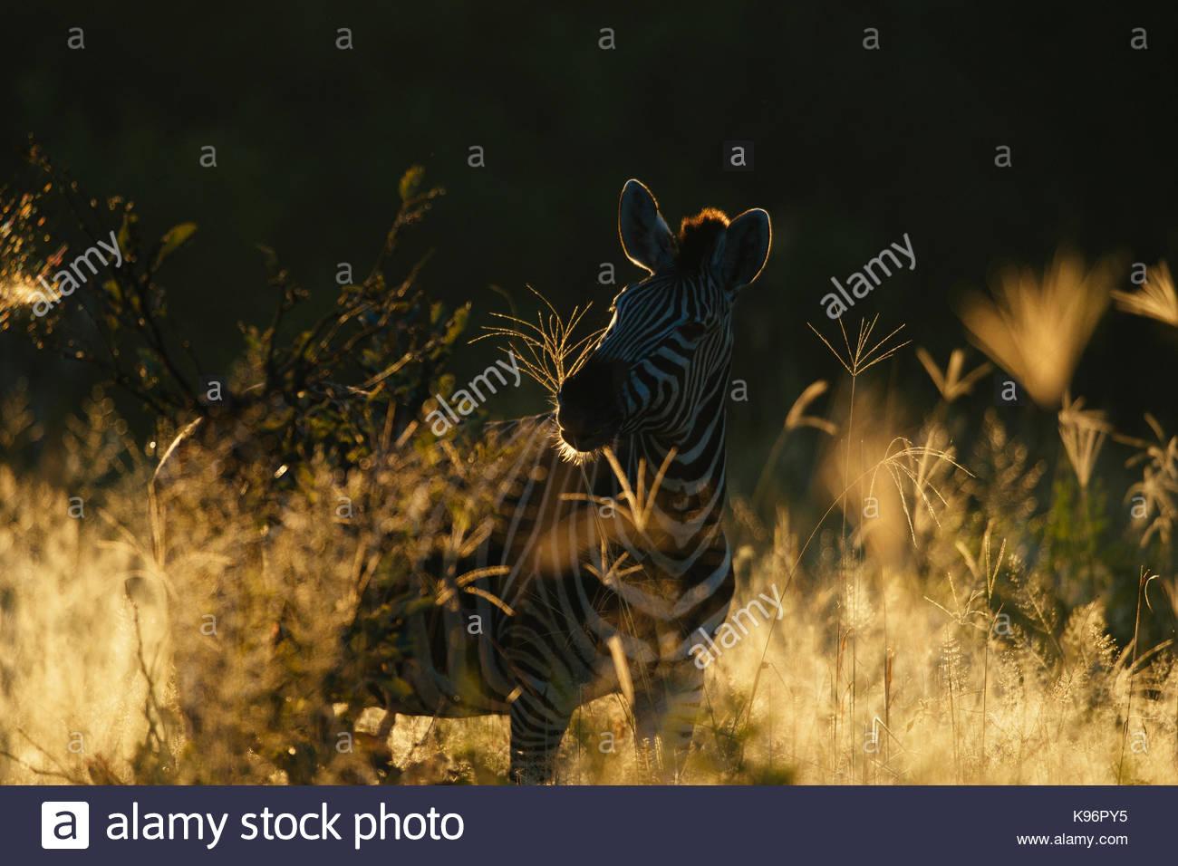 Portrait of a plains or Burchell's zebra, Equus burchellii. - Stock Image