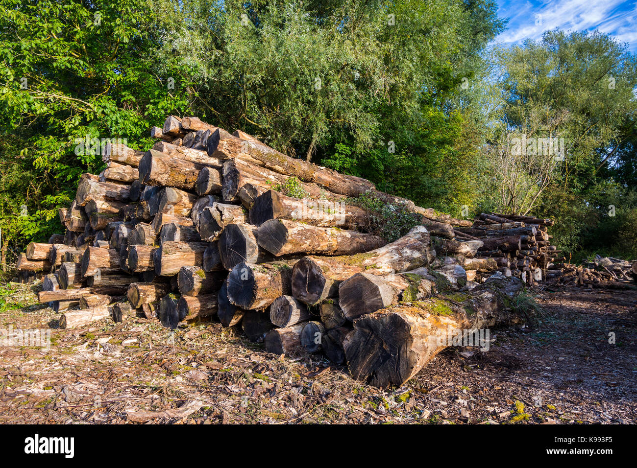Stack of tree trunks. - Stock Image