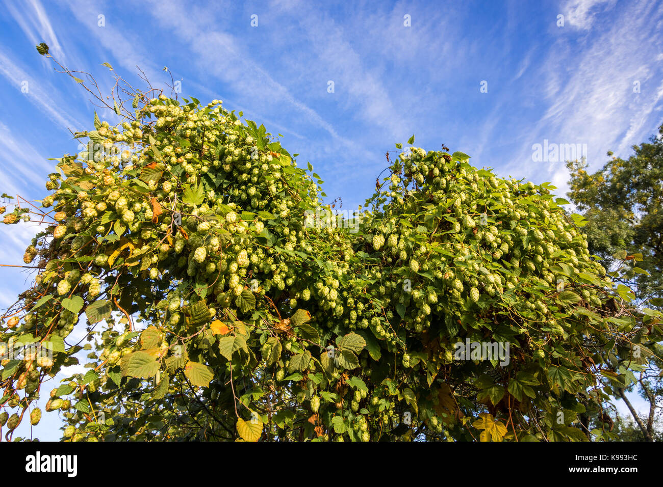 Wild hops growing on bushes. - Stock Image