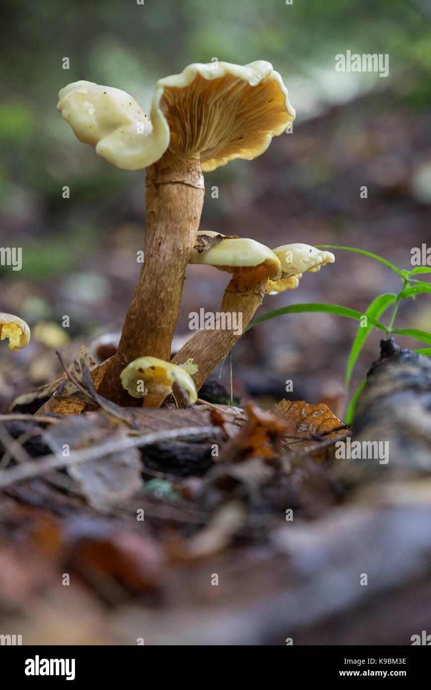 Family of Albatrellus confluens in close-up - Stock Image