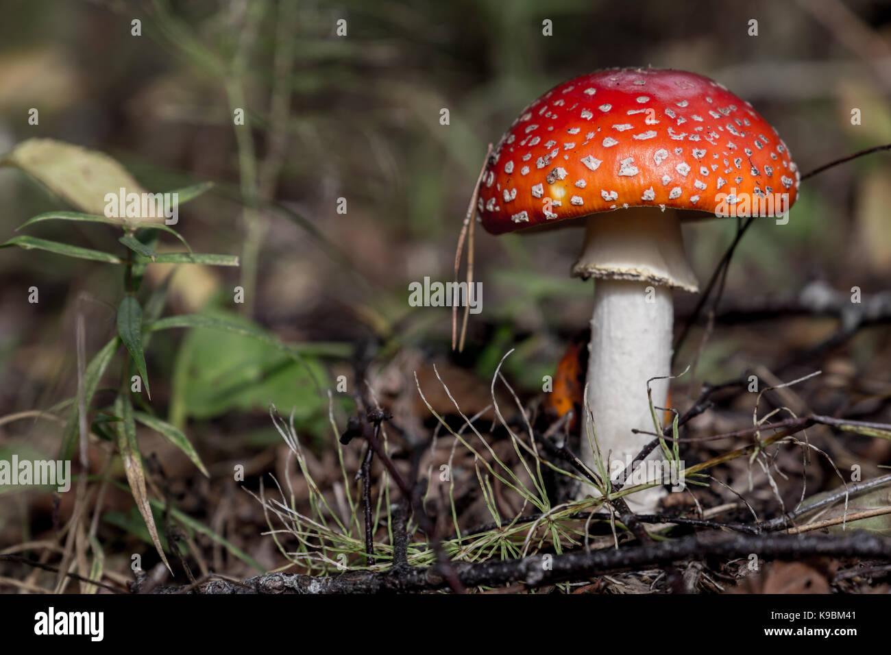 Tiny Amanita Muscaria close up - Stock Image
