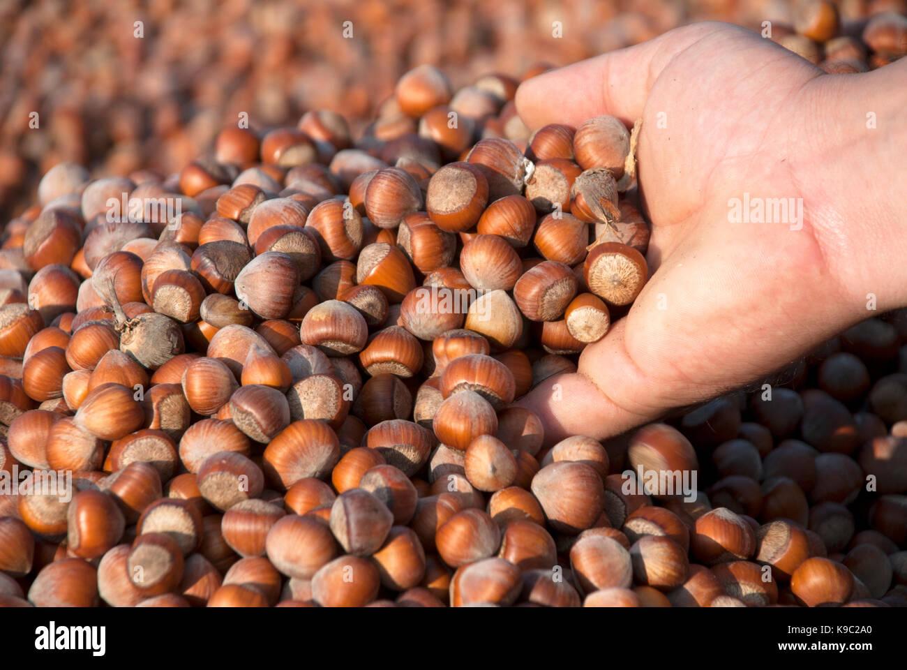 Hazelnuts - Stock Image