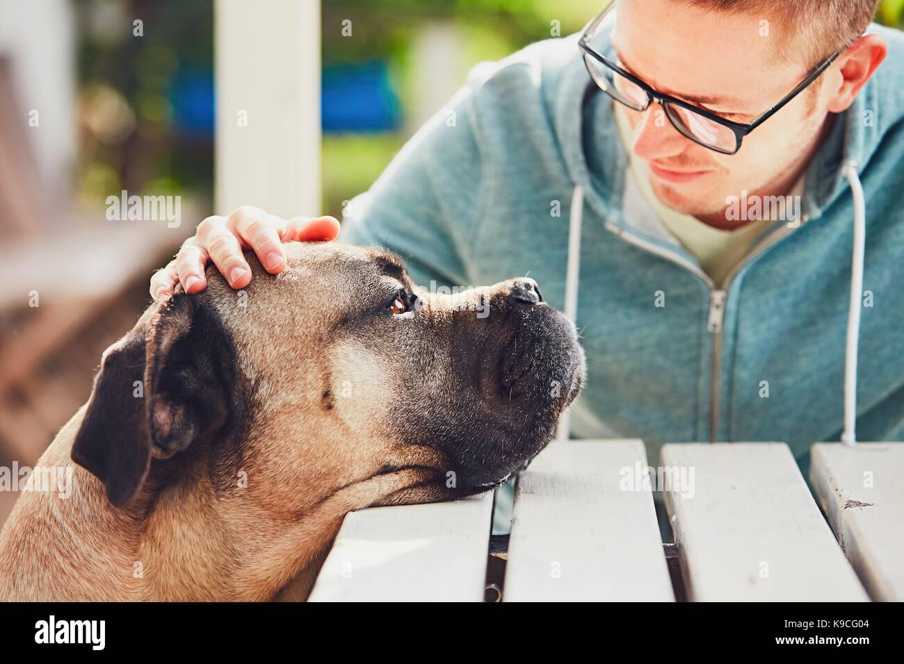 Devoted look of the huge dog. Friendship between young man and cane corso dog. - Stock Image