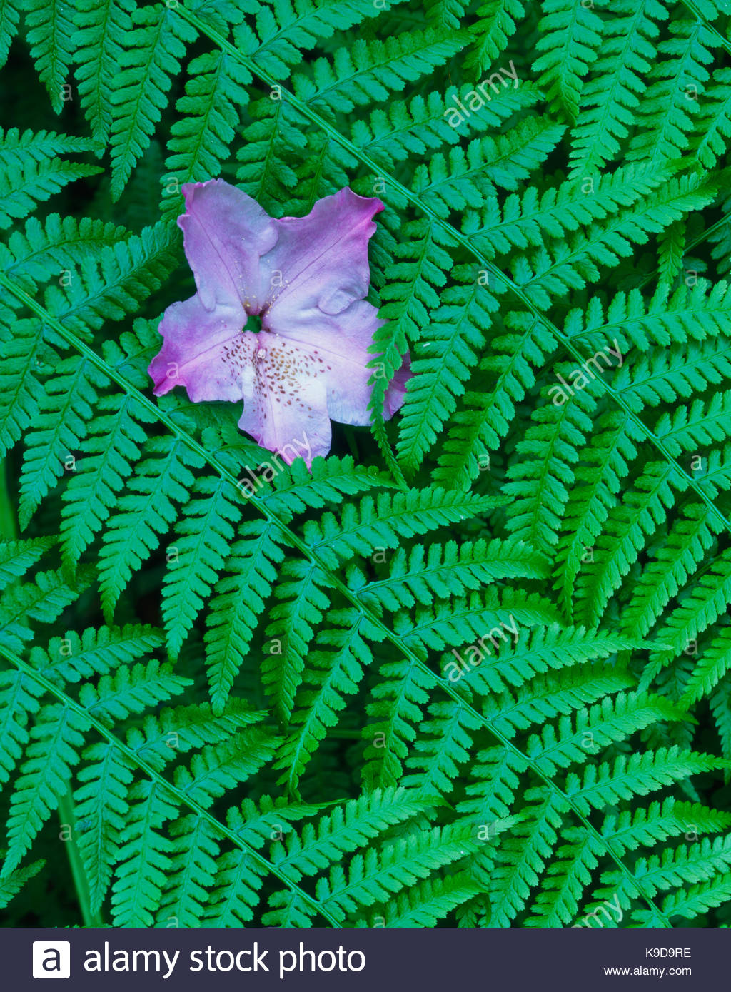 Rhododendron BlossomFallen on Wood Ferns,Redwood National Park, California - Stock Image