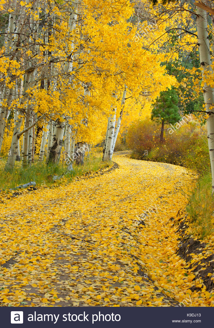 Winding Road with Fall Color, Inyo National Forest, Mono County, California - Stock Image