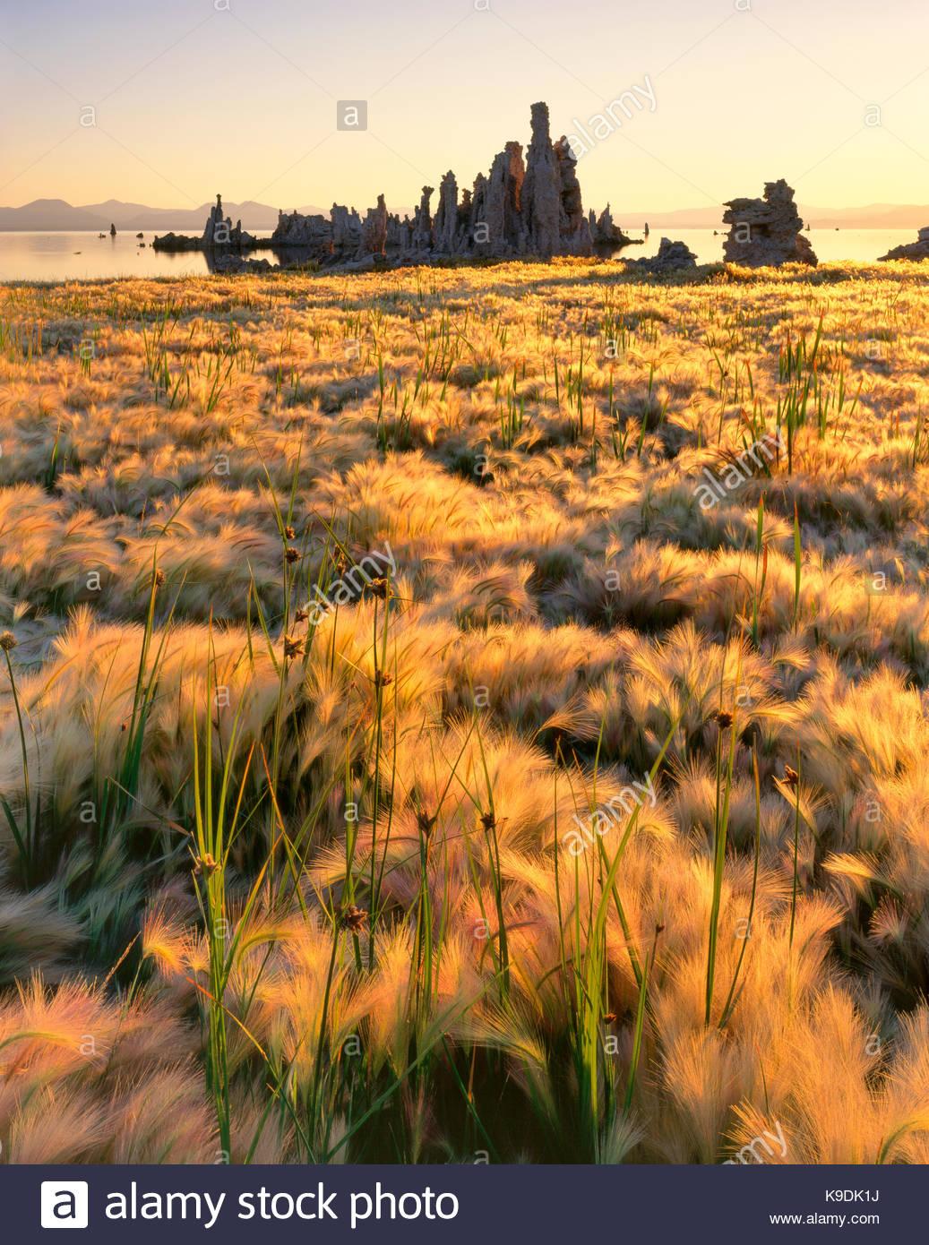 Wild Barley and Tufa Formations, Mono Lake, Mono Basin National Forest Scenic Area, California - Stock Image