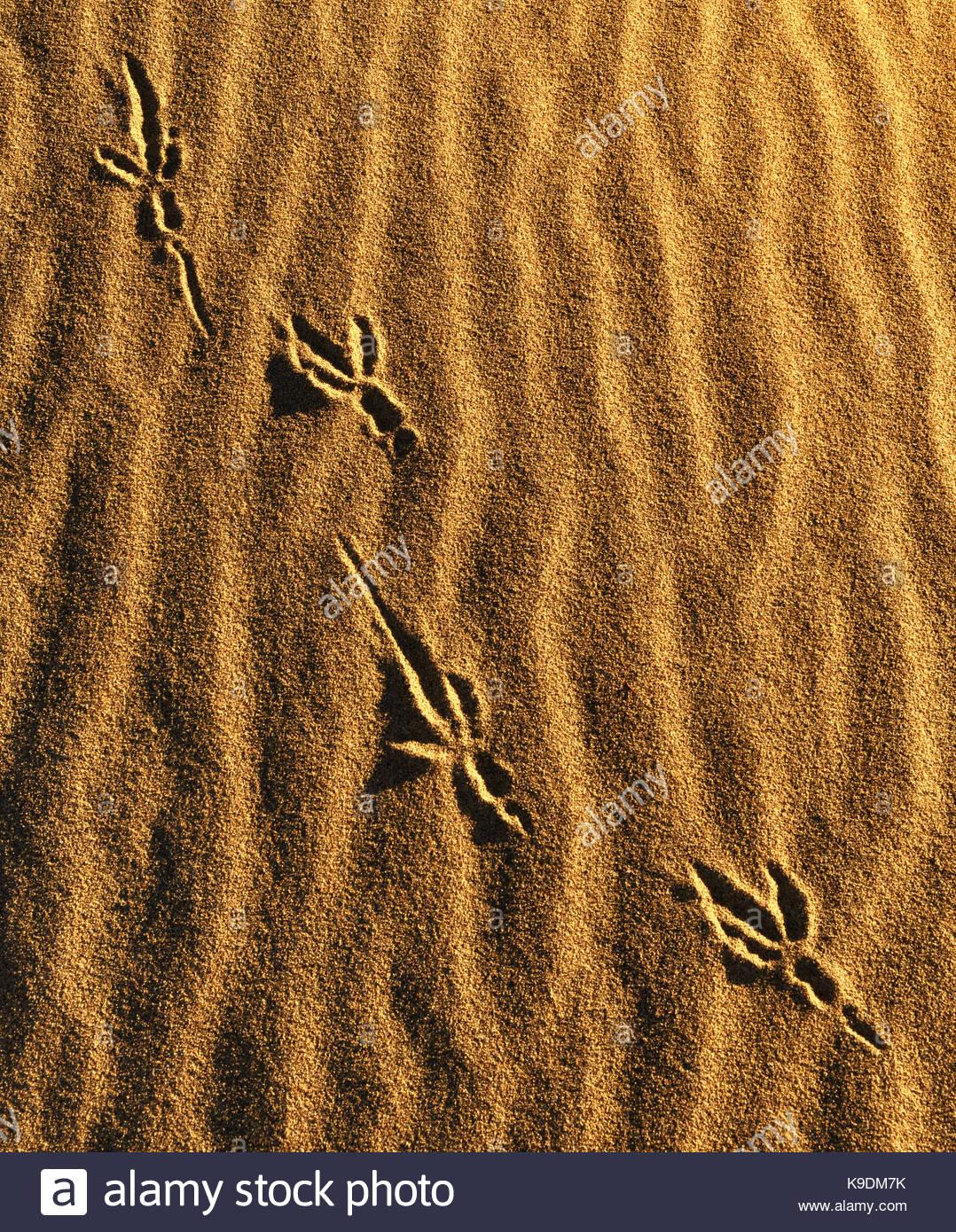 Raven Tracks on Sand Dune, Death Valley National Park, California - Stock Image