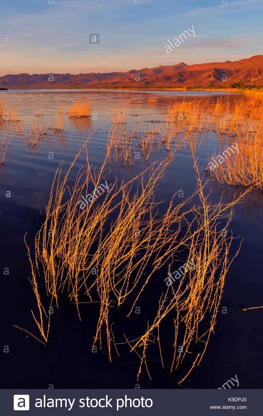 Submerged Brush and Marsh at Sunset, Stillwater National Wildlife Refuge, Nevada - Stock Image