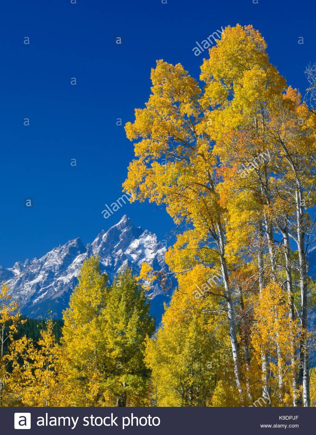 Grand Teton and Aspen, Grand Teton National Park, Wyoming - Stock Image