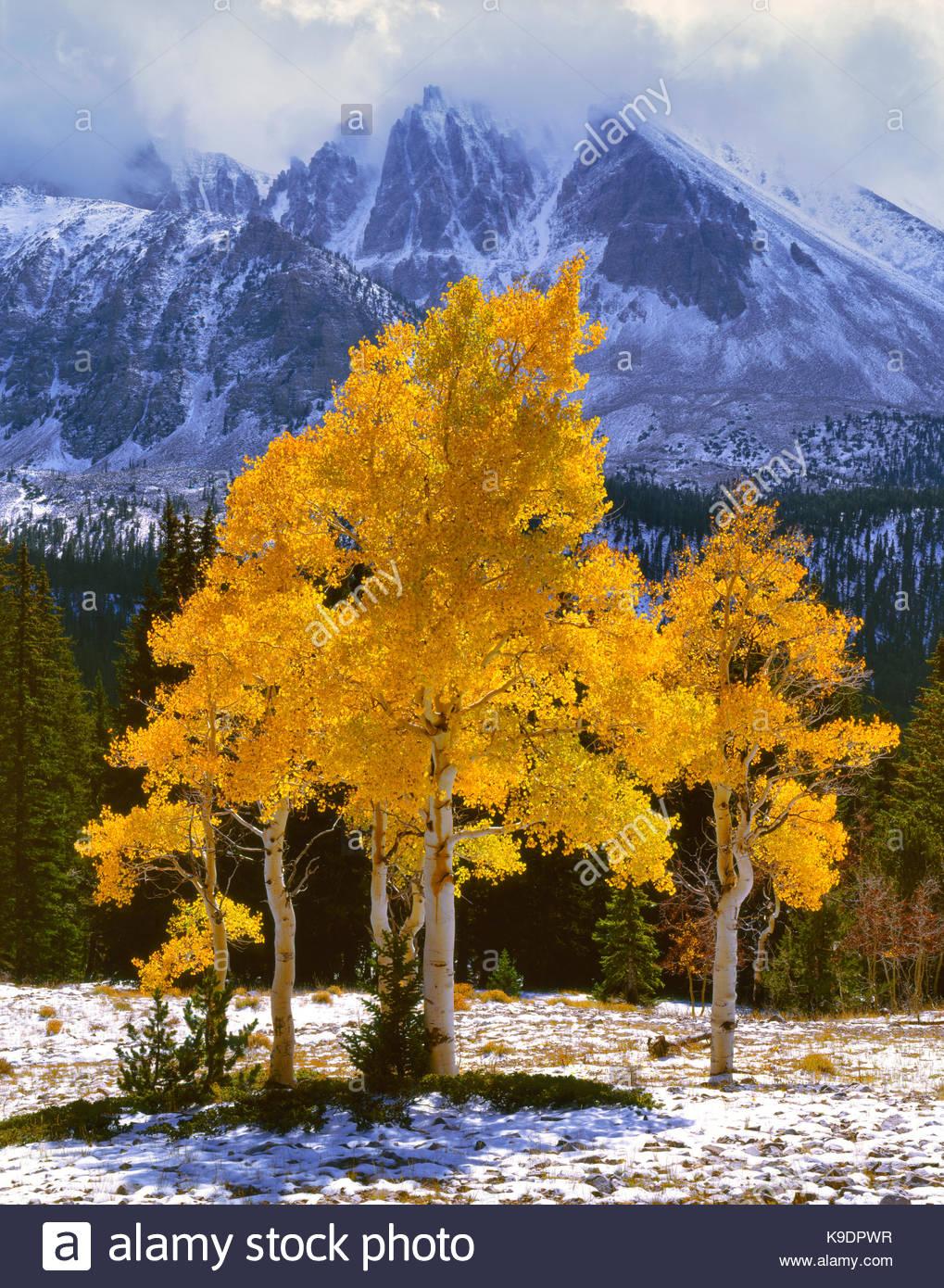 Aspens below Jeff Davis Peak, Great Basin National Park, Nevada - Stock Image
