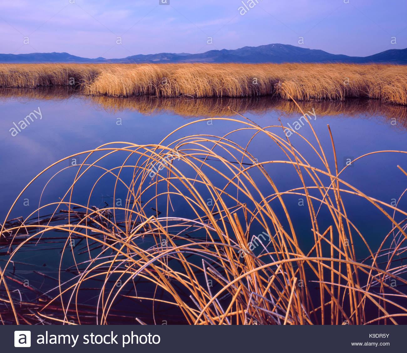 Reeds and Lake at Sunrise,Ruby Lake NationalWildlife Refuge, Nevada - Stock Image