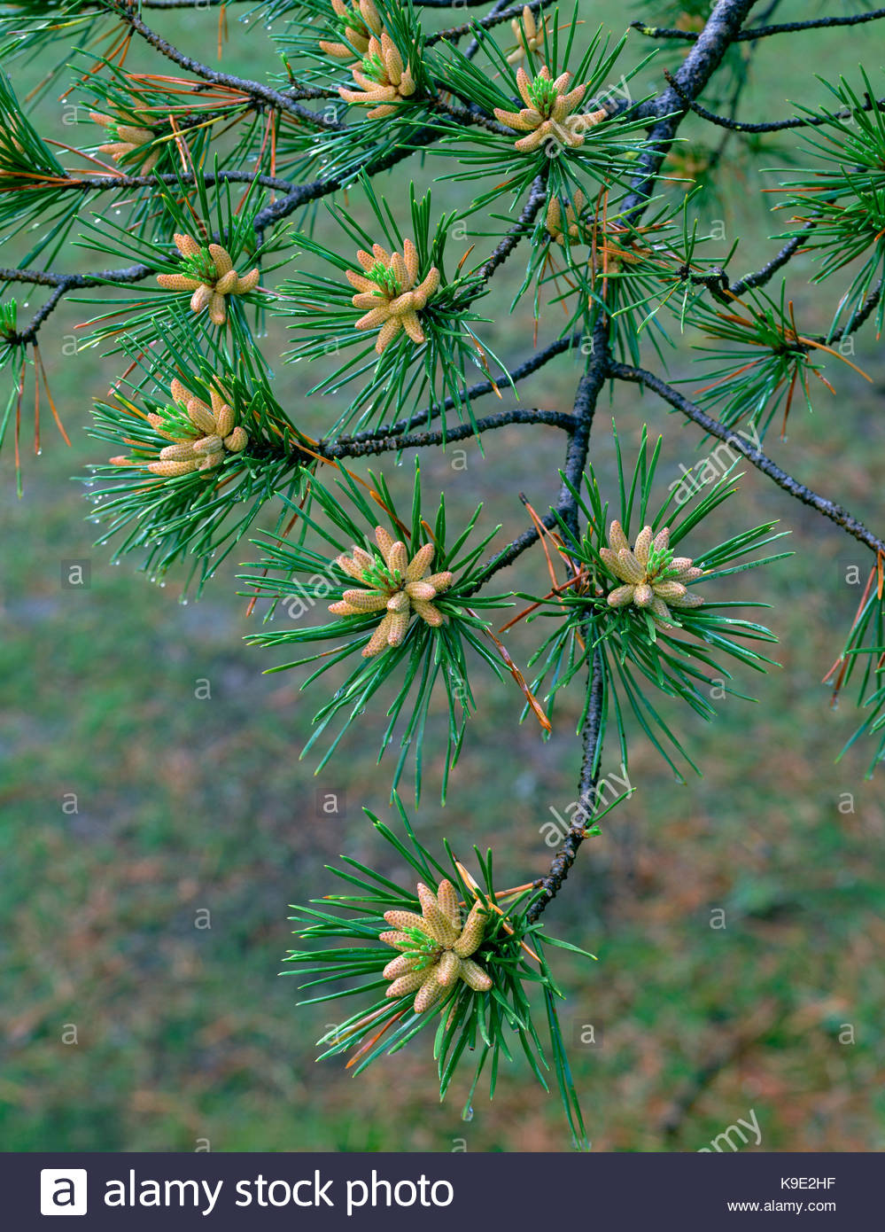 Lodgepole Pine in Spring,Yosemite National Park, California - Stock Image