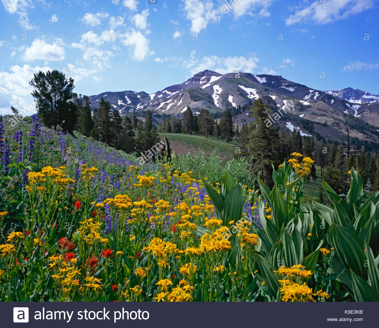 Lupine, Paintbrush, Groundsel and Corn Lily, Stanislaus National Forest, California - Stock Image