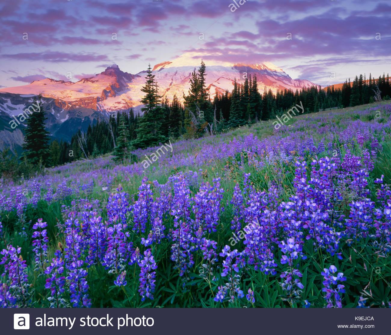 Lupine and Mount Rainier at Sunrise, Mount Rainier National Park, Washington - Stock Image