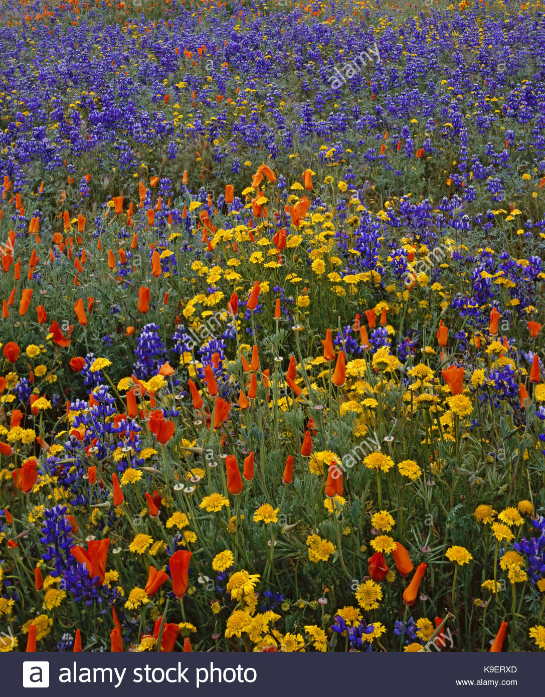 Poppies, Lupine and Goldfields, Carrizo Plain National Monument, California - Stock Image