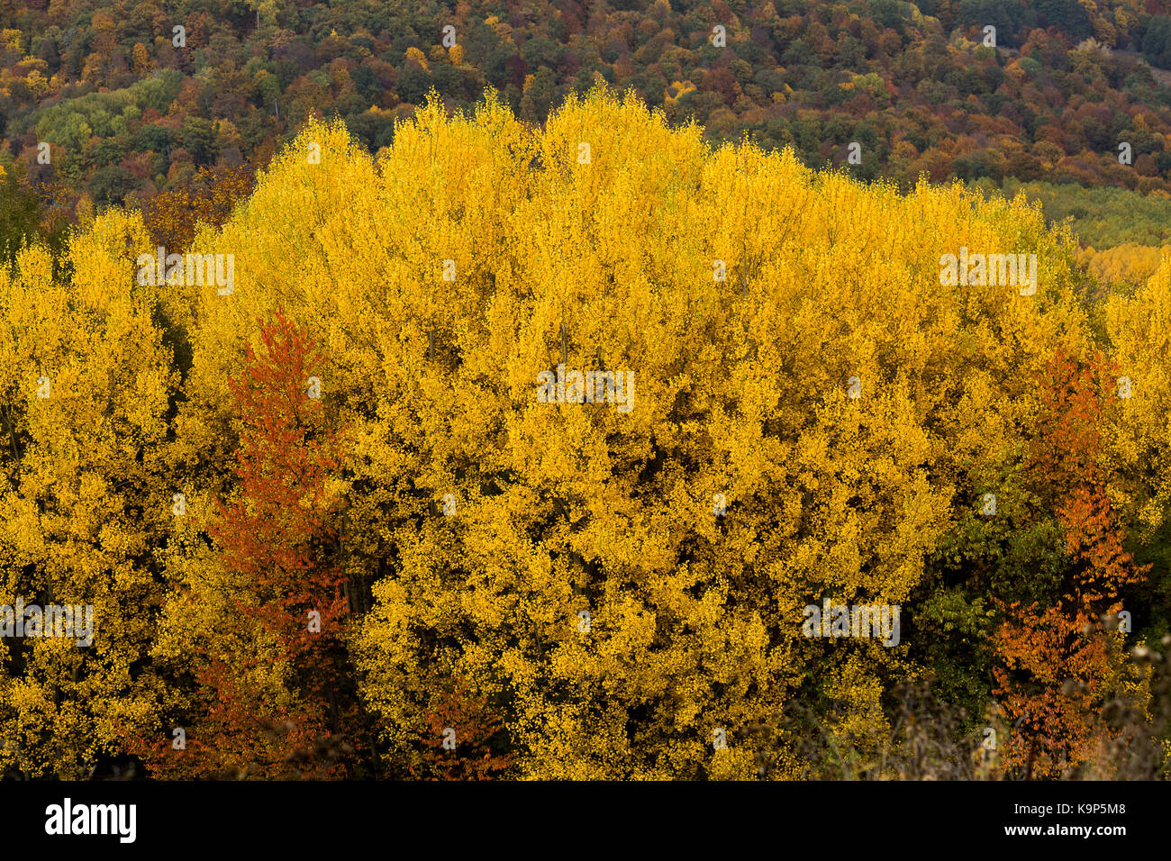poetic autumn, environment, cycle of life concept. tree canopy is all covered small leaves of sunny yellow colour - Stock Image