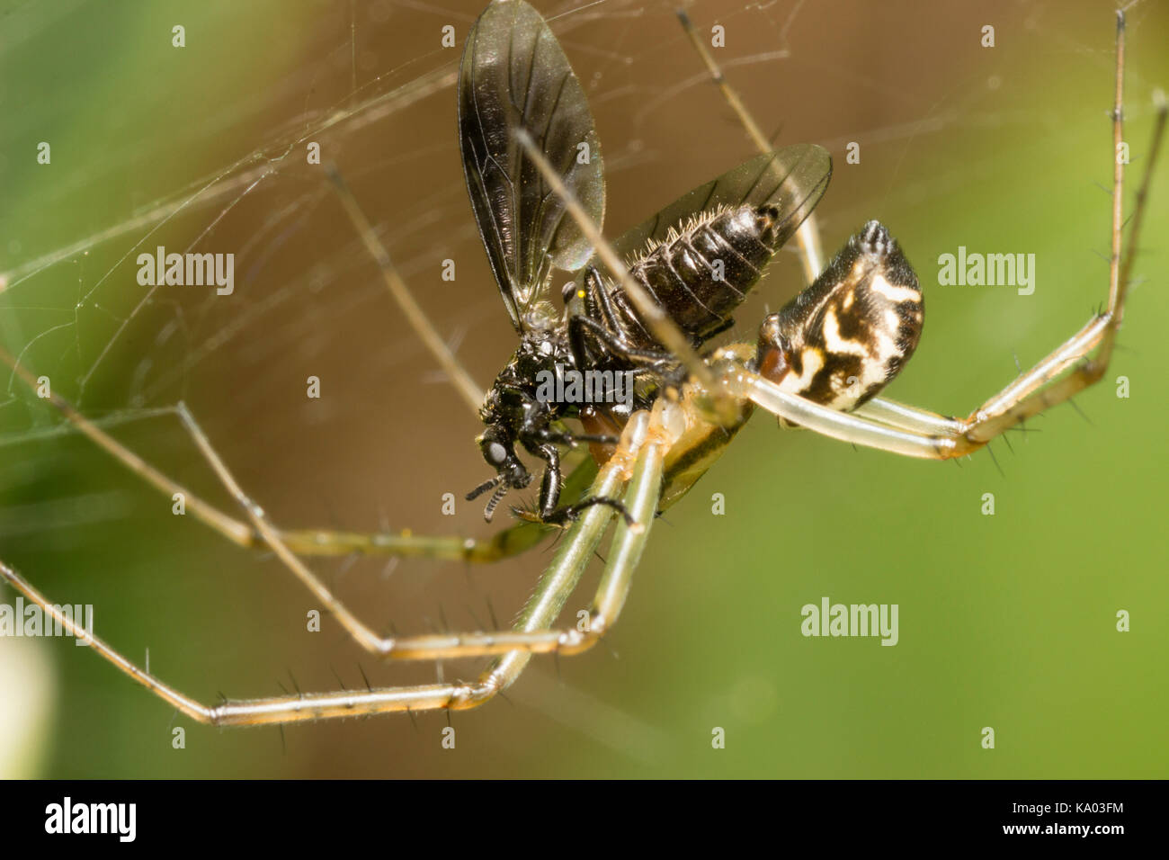 web-spinning-uk-spider-linyphia-triangularis-with-captured-female-KA03FM.jpg