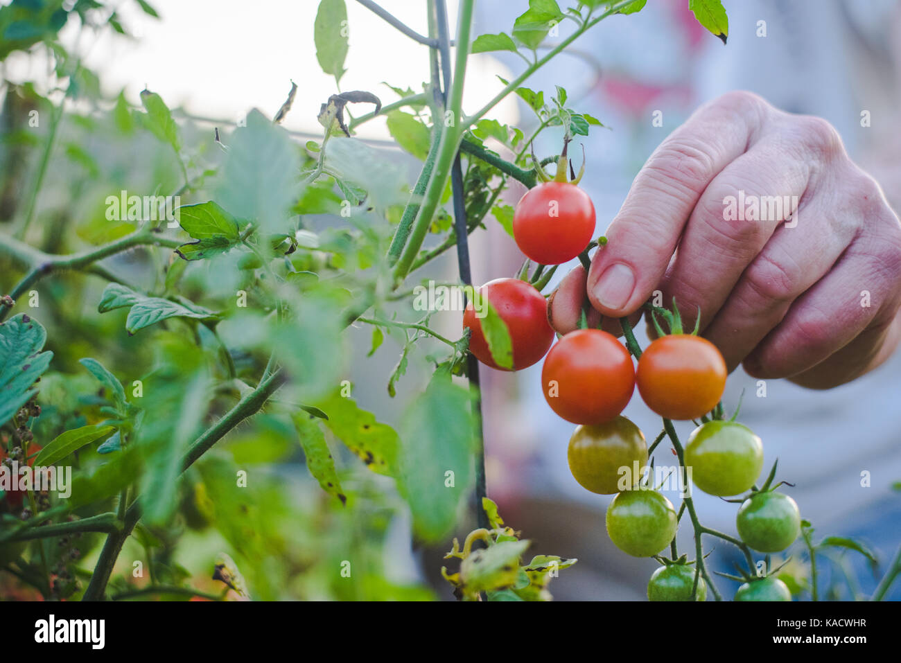 Man's hands holding a bunch of  fresh, red cherry tomatoes. - Stock Image