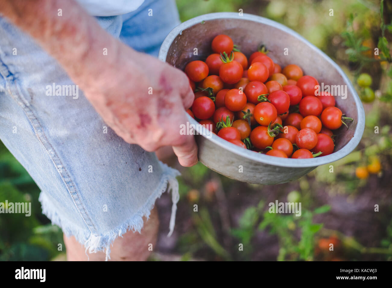 Man's hands holding a colander full of fresh, red cherry tomatoes. - Stock Image