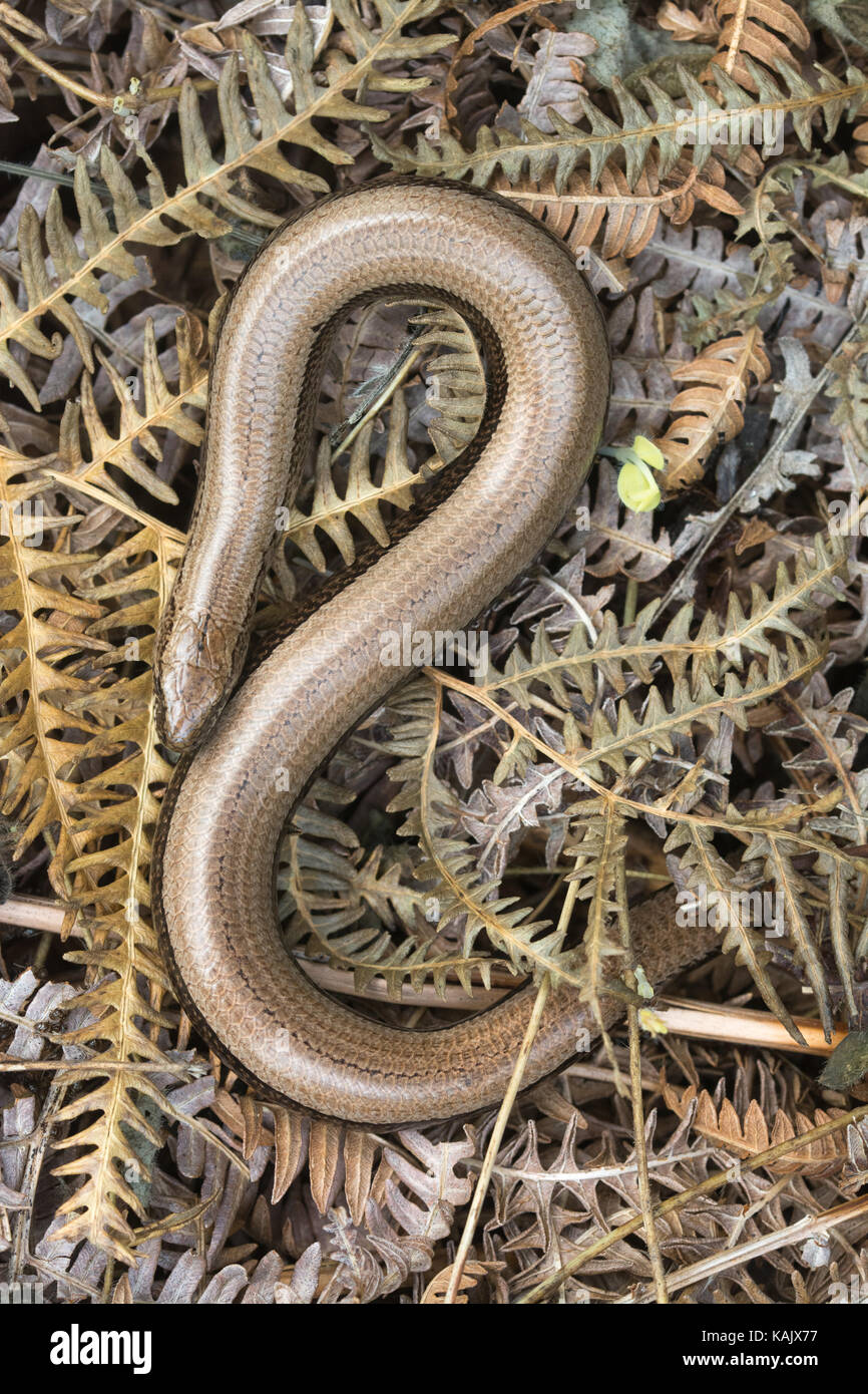 close-up-of-slow-worm-anguis-fragilis-basking-on-dead-bracken-KAJX77.jpg
