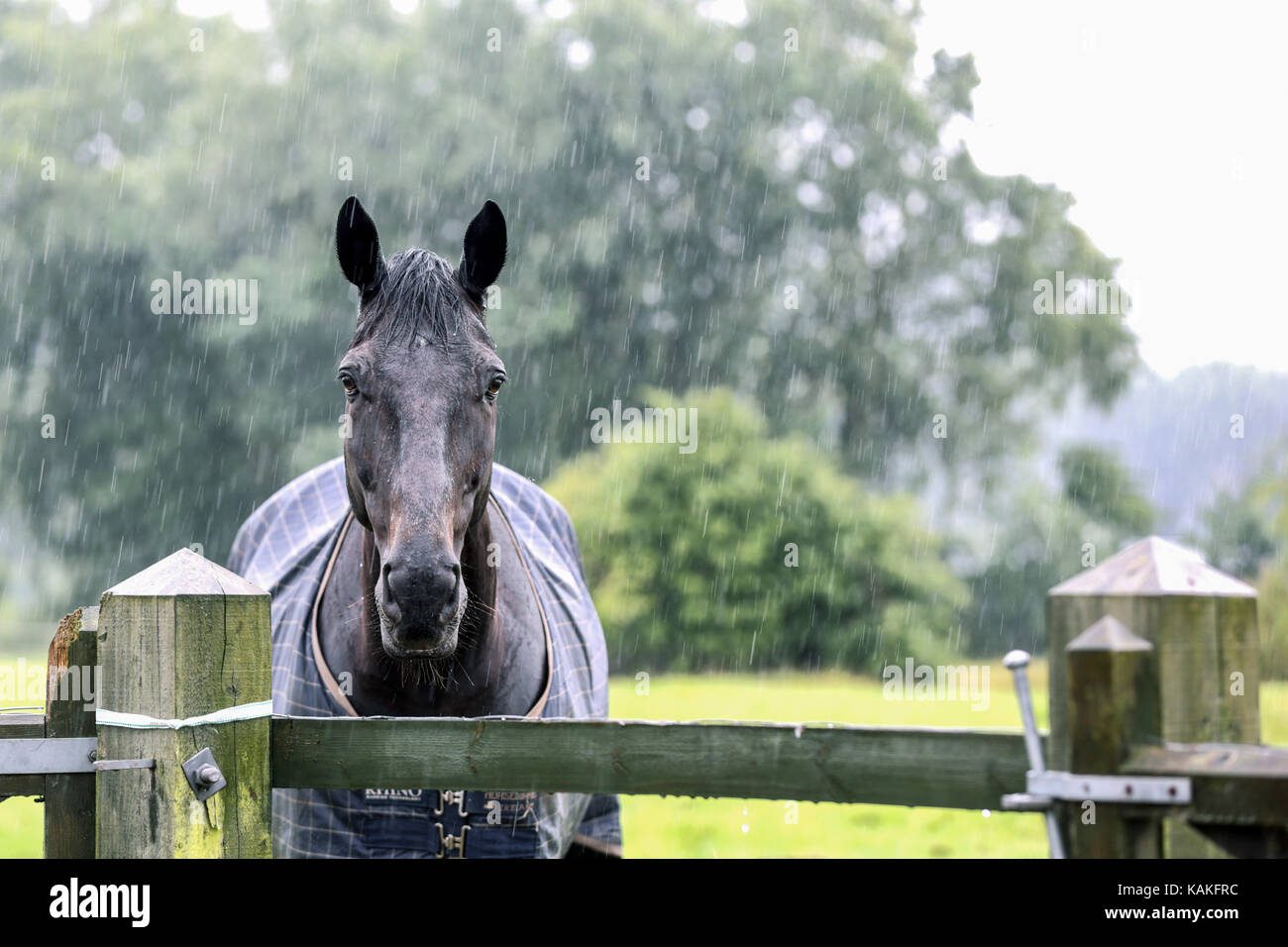 a-rain-soaked-thoroughbred-horse-looks-o