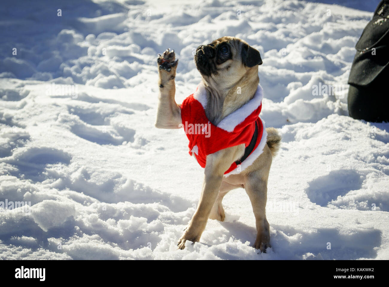A young female Pug dresses up as Santa Claus puts her paw up whilst playing in the snow, England, UK Stock Photo