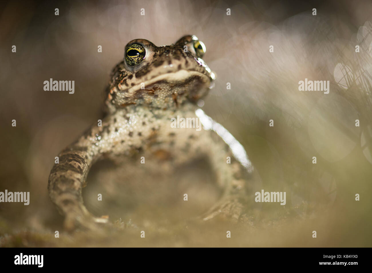 Natterjack Toad (Epidalea calamita) male in backlight between patches of Grey hair-grass, The Netherlands, Limburg, - Stock Image