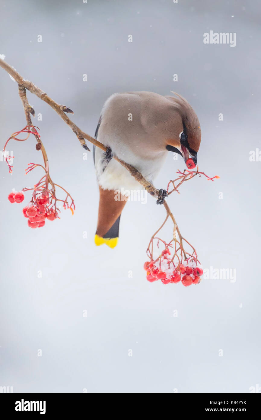 Bohemian Waxwing (Bombycilla garrulus) male perched on berrie branch feeding, Finland, Kuusamo - Stock Image