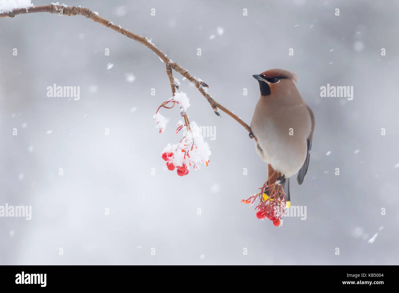 Bohemian Waxwing (Bombycilla garrulus) male perched on berrie branch covert with snow, Finland, Kuusamo - Stock Image