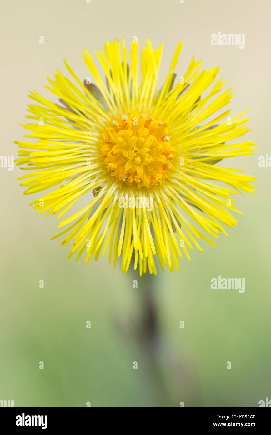 Coltsfoot (tussilago farfara) flowering, The Netherlands, Noord-Brabant - Stock Image