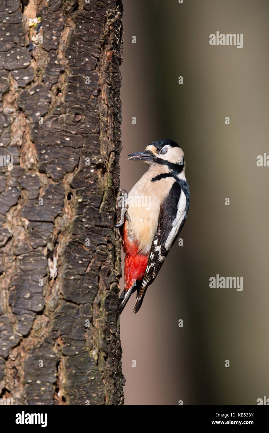 Great spotted woodpecker (Dendrocopos major) foraging on a tree with closed eyes, The Netherlands, Noord-Holland, - Stock Image