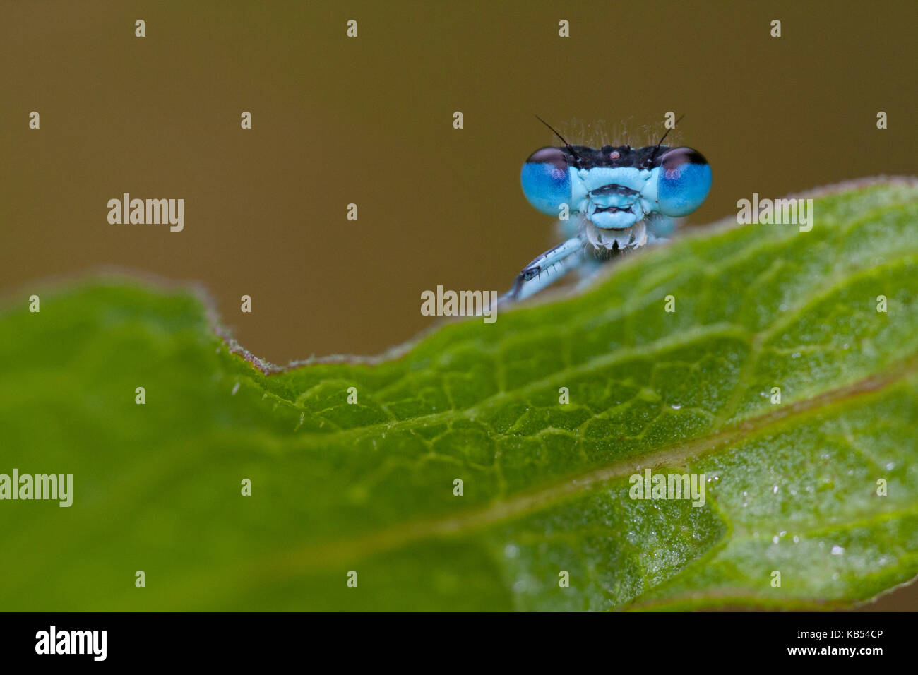 Azure Bluet (Coenagrion puella) peeking over the edge of a leaf, The Netherlands - Stock Image